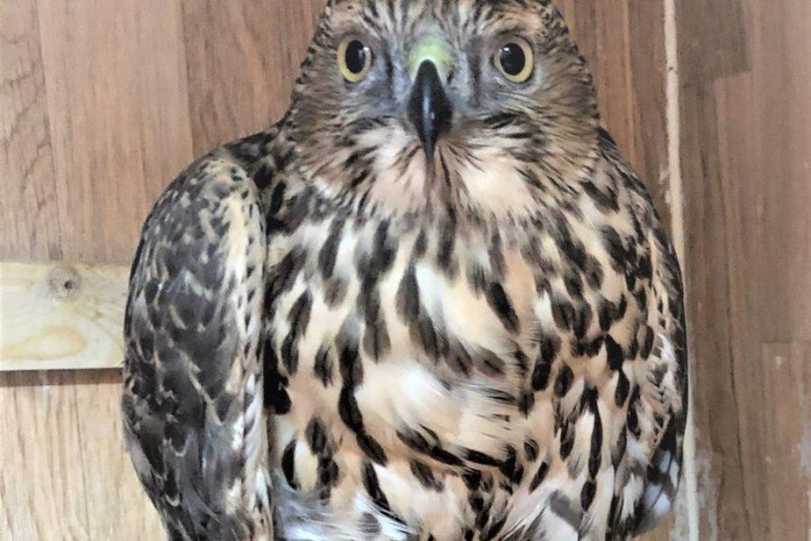 Little Brother Eagle / Ottawa Valley Wild Bird Care Centre